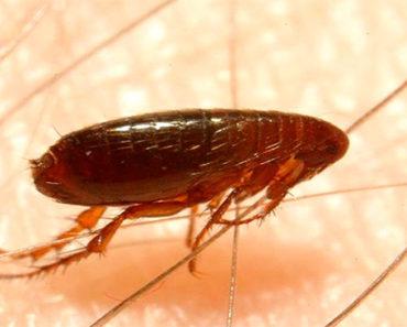 Soñar con pulga