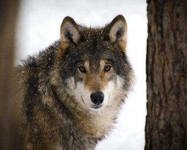 Soñar con lobo