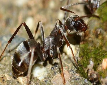 Soñar con hormiga