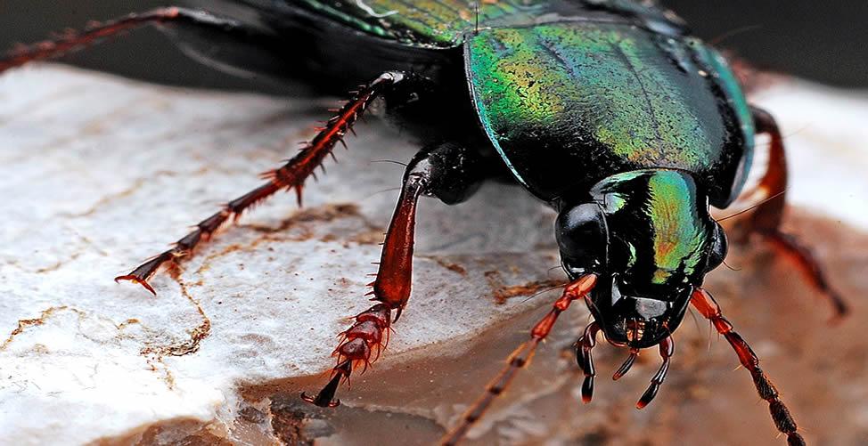 Soñar Con Escarabajo